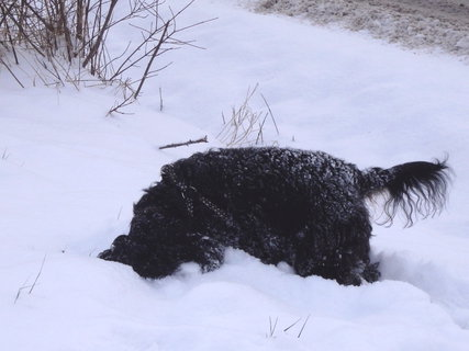 FOTKA - lednové procházky- s hlavou ve sněhu