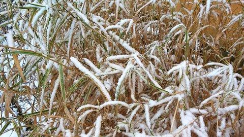 FOTKA - pocukrovaná stébla ozdobné trávy