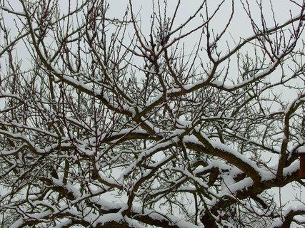 FOTKA - Pohled do větví staré meruňky