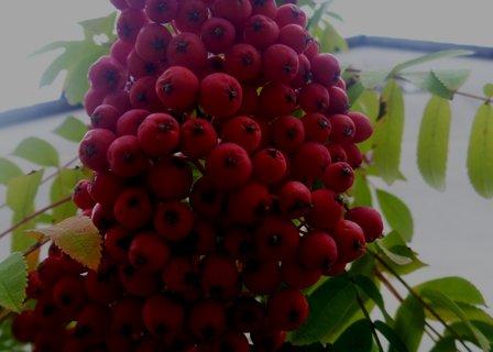 FOTKA - podzimní jeřabiny