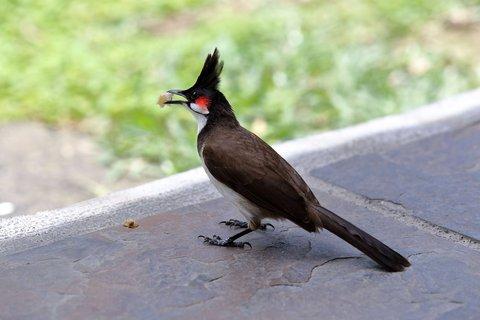 FOTKA - Mauritijský ptáček