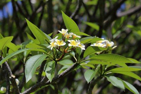FOTKA - Plumérie - národní strom