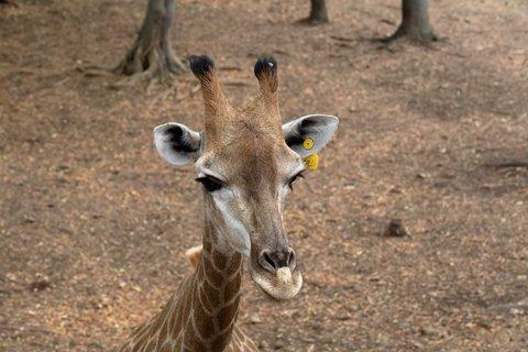 FOTKA - Safari - zvědavá žirafa