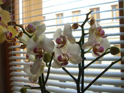 FOTKA - Kamarádčina orchidej
