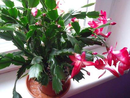 FOTKA - Kaktus rozkvetlý