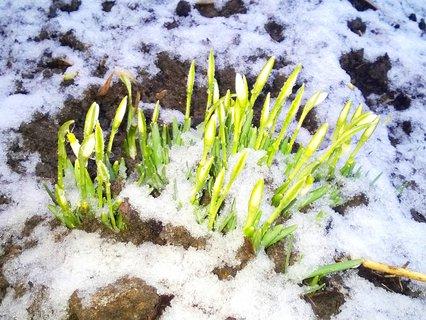 FOTKA - zasněžené sněženky
