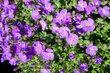 drobné lila kvítky