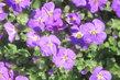 lila kvítky na skalce