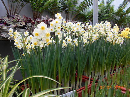 FOTKA - Narcisy s více květy na jednom stonku