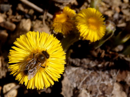 FOTKA - březnová procházka-podběl s včeličkou