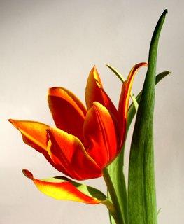 FOTKA - Tulipán zvláštny