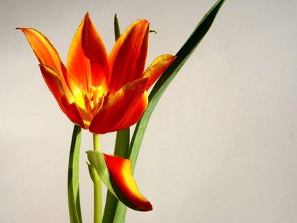 FOTKA - Zvláštny tulipán