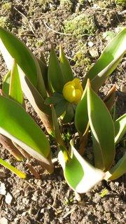 FOTKA - talovínek mezi tulipány