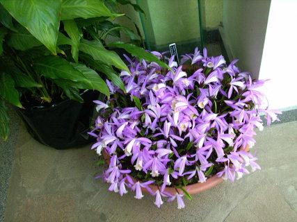 FOTKA - venkovní orchideje