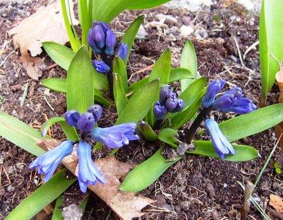 FOTKA - rozkvétající hyacinty
