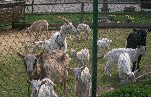 FOTKA - Kozy za plotem