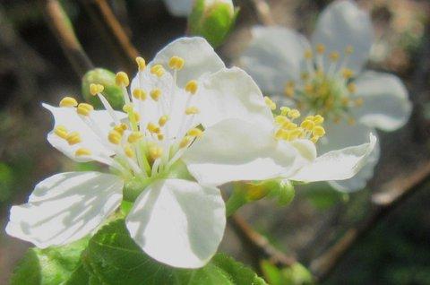 FOTKA - květ švestky
