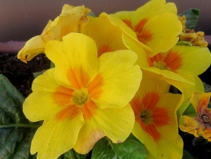 FOTKA - prvosenka žlutá z truhlíku