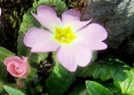 FOTKA - růžová rozkvétající