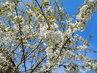 Kvetoucí třešeň proti modrému nebi (24.4.)