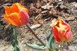 tulipány ..foto z výletu