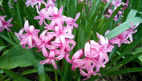 FOTKA - růžové hyacinty