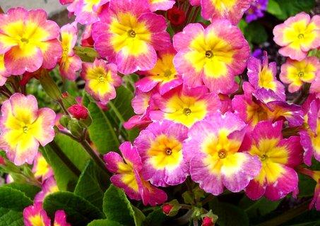 FOTKA - růžovožlutý petrklíč