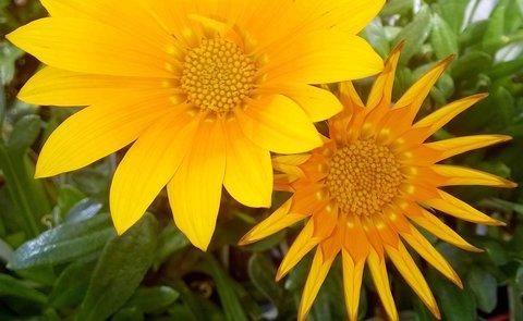 FOTKA - květy gazánie