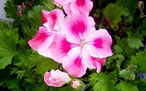 FOTKA - anglický muškát v růžových tónech