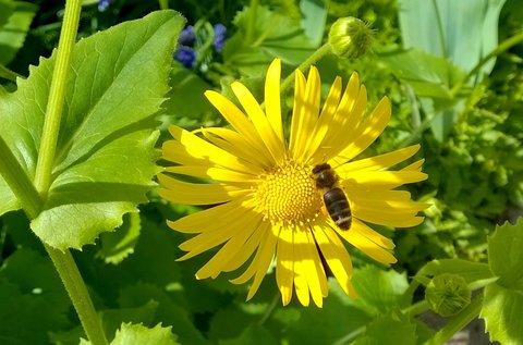 FOTKA - včelka na kamzičníku