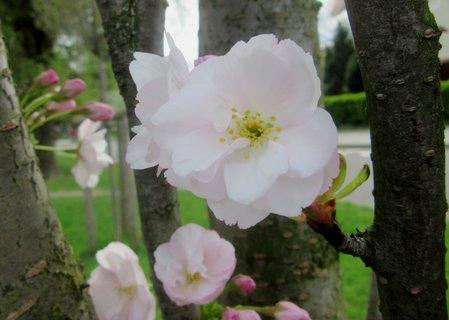 FOTKA - ozdob. třešně