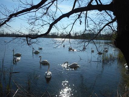 FOTKA - Labutě poblíž břehu rybníka