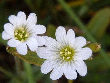 FOTKA - z květnové procházky-bílé kvítky