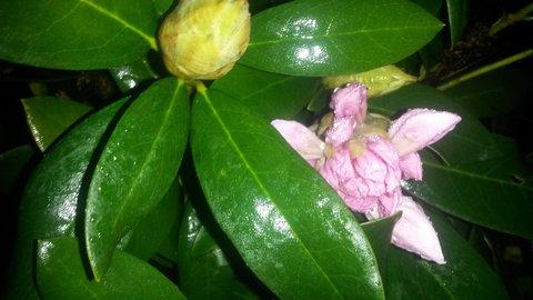 FOTKA - květ se schovává za listy