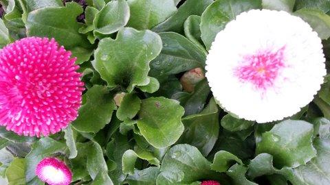 FOTKA - růžová a bílá spolu