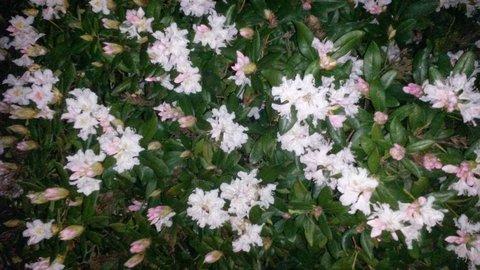 FOTKA - keř bílého rododendronu