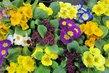 Nabídka jarních květin