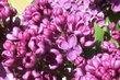 Barevné jaro - šeřík