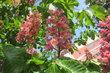 Kvetou jírovce i červeně