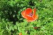 Můj oblíbený polní květ...