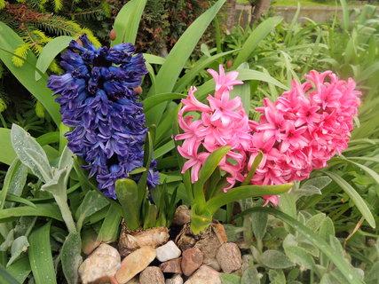 FOTKA - modrý a růžový spolu v páru