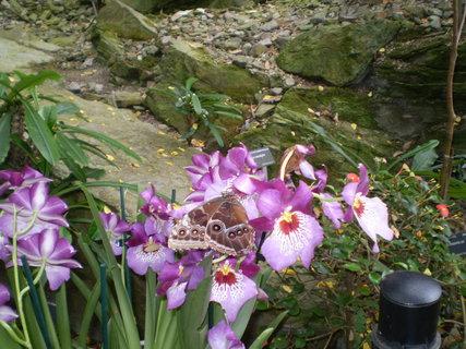 FOTKA - Okatý motýl v květech orchideje.