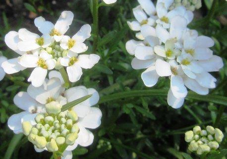FOTKA - nízká bílá kvítečka