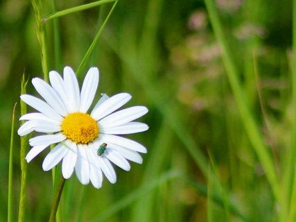 FOTKA - z květnové procházky-brouček na kopretince