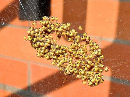 FOTKA - seskupení pavoučích miminek