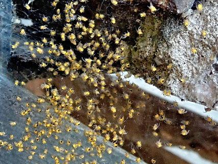 FOTKA - maličcí pavoučci - křižáci se rozbíhají do světa