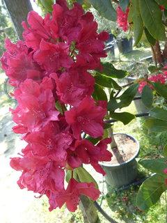 FOTKA - Rododendron červený