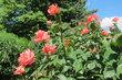 Růže nelze minout