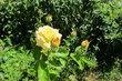 Park přátelství -  všudypřítomná vůně lip + vůně růží