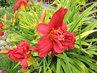 obří květy plnokvěté denivky